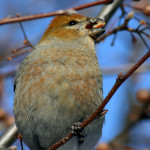 Pine Grosbeak pic